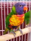 Rainbow Lorikeet http://www.birdcare.com.au/rainbow_lorikeet.htm