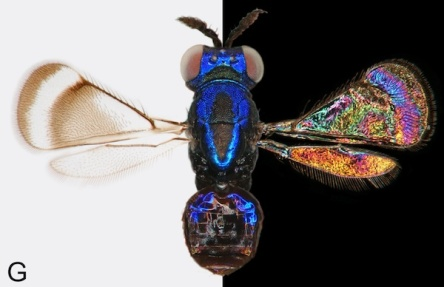 A female Closterocerus coffeellae, a wasp collected in Colombia, looks drab against a white background and shines against black. Researchers at Lund University  in Sweden have discovered that the insect species – hymenoptera wasps and diptera flies – they've been studying for decades reflect light off their wings in rainbow-like patterns. The effect is a bit like oil on water, but these patterns are permanent, suggesting they may play a role in insect communication. The wings of the flies and wasps are transparent, but they reflect about 20 percent of the light that hits them, the researchers found. It's this light that creates the shining patterns, just like a thin film of soap or oil on water creates a rainbow-colored glare. http://www.livescience.com/37254-awesome-pictures.html